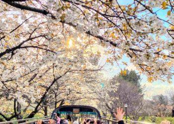 I fiori di ciliegio un vero culto in Giappone