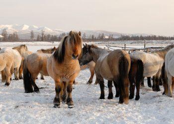 cavalli siberiani discendenti del cavallo di Verkhoyansk