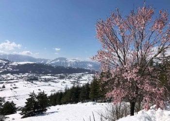 Neve e gelate marzoline sugli alberi in fiore