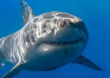 Lo squalo bianco tanto temuto