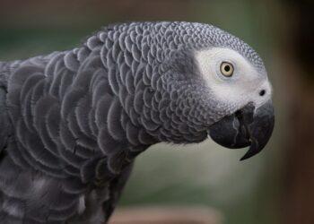 grey parrot 1140551 1280 350x250 - Quali sono le origini della comunicazione acustica?