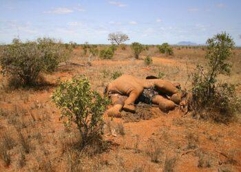 elefante morto