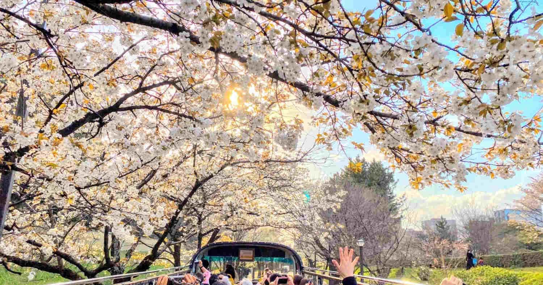 hanami - Grande spettacolo a Tokyo. Esplosione di colori, i più belli al mondo