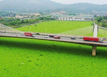 Il fiume cinese reso verde dalla fioritura massiva dei giacinti d'acqua
