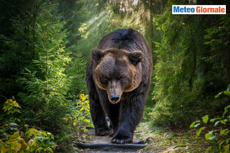 orso artur romania - Romania: Orso Artur, il più grande orso d'Europa ucciso per errore